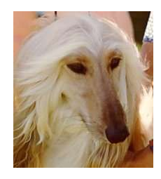 A Google search result for Afghan Hound Image - Screen Shot 2012-08-08 at 11.49.47 AM